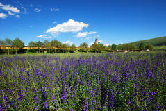 Field of purple flowers. And trees in front of a temple Royalty Free Stock Photography