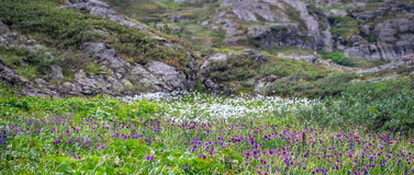Field of purple flowers in the Altai mountains, Russia Royalty Free Stock Image
