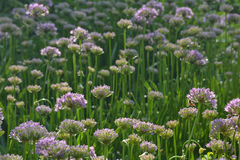 Field of purple flowers. A field of purple flowers bathed in sunlight Royalty Free Stock Photography