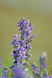 Field of purple flowers Royalty Free Stock Photo