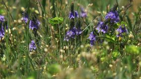 Field With Purple Flowers stock video footage