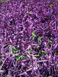Field of purple flowers Stock Photography