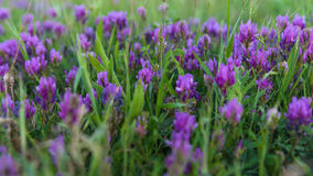 Field purple flowers closeup Stock Photo