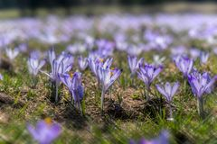 A field of purple flowers Royalty Free Stock Photography