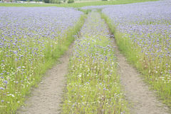 Field with Purple Flowers, Fife, Scotland. UK Royalty Free Stock Image