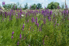 Field of purple flowers in the grass Royalty Free Stock Photography