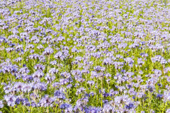 Field of purple flowers and green foliage Royalty Free Stock Image