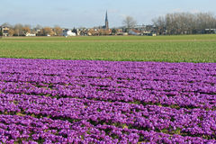 Field of purple flowers in Holland Royalty Free Stock Photos