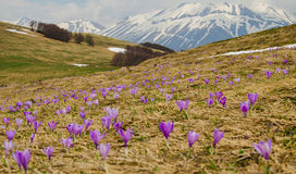 Field of purple flowers. In the italian mountain Royalty Free Stock Photo