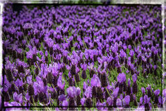 Field of purple flowers Royalty Free Stock Photos