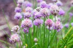 Field of purple flowers. Purple flowers at Pekin park Stock Image