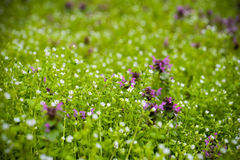 Field of purple flowers. On a spring day Stock Photos