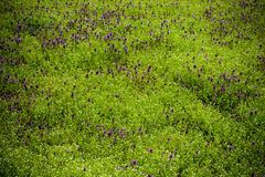Field of purple flowers. On a spring day Royalty Free Stock Photo