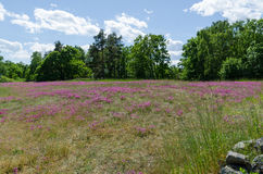 Field with purple flowers Stock Photo