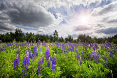 Field of purple flowers with sunset. Forest on the horizon. Sunlight at sunset Royalty Free Stock Photography