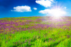 Field With Purple Flowers At Sunsrise. Nature Backgrounds - Field with purple flowers in the sunrise light Royalty Free Stock Photos