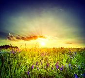 Field with purple flowers. Under the setting sun Stock Images
