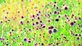 Field with purple flowers under sunlight. At summer Stock Images