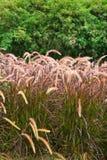 Field of purple grass Stock Photography