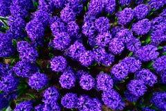 Field of purple hyacinth in Holland , spring time colourful flowers. Field and purple hyacinth in Holland , spring time royalty free stock image