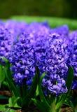 Field of purple hyacinth in Holland , spring time colourful flowers. Field and purple hyacinth in Holland , spring time royalty free stock images