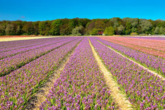 Field of purple hyacinths in spring Stock Images