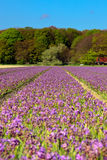 Field of purple hyacinths in spring Royalty Free Stock Photography