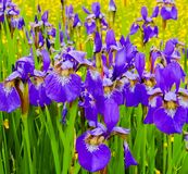 A field of purple Irises. Blooming in yellow wildflowers royalty free stock photo