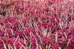 Field of purple leaved flowers Royalty Free Stock Image