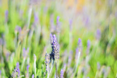 Field of purple levander flowers Stock Photo
