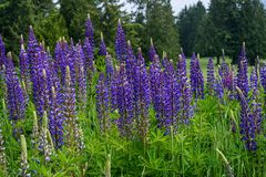 Field of purple lupine flowering in the foreground with golf course and evergreen trees in background stock photo