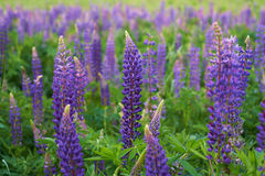 Field of purple lupine Royalty Free Stock Photo