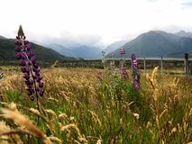 A view of the Southern Alps, with purple lupines, South Island, New Zealand royalty free stock photo