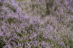 Field of purple moor Stock Photography