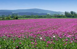 Field of purple poppies Royalty Free Stock Image