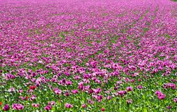 Field of purple poppies Royalty Free Stock Photo
