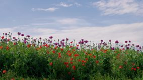 Field of purple and red poppies under blue sky, grassland. Field of blooming purple and red poppies with unripe seed heads under blue sky, beautiful grassland stock video