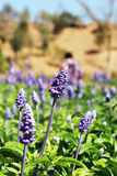 Field of purple salvia flowers Royalty Free Stock Image