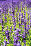 Field of purple salvia flowers Stock Photo