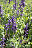 Field of purple salvia flowers Royalty Free Stock Images