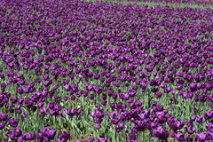 Field of purple tulips Stock Photography