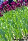 Field of  purple tulips. Field of beautiful purple tulips Royalty Free Stock Images