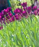 Field of  purple tulips. Field of beautiful purple tulips Stock Photos