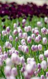 Field of  purple tulips. Field of beautiful pink and purple tulips Royalty Free Stock Image