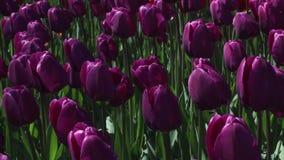 Field of  purple  tulips blooming stock video footage