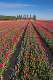 Field of  purple tulips and a farm Royalty Free Stock Image