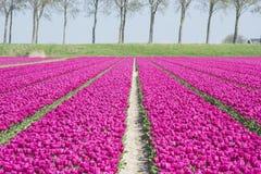 Field of purple tulips in holland Stock Photo