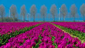Field of purple tulips in Holland , spring time colourful flowers. Keukenhof park royalty free stock images