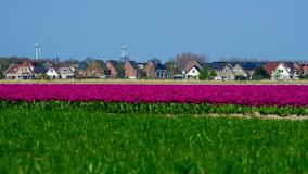 Field of purple tulips in Holland , spring time colourful flowers. Keukenhof park stock photos