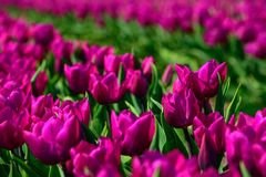 Field of purple tulips in Holland , spring time colourful flowers. Keukenhof park stock images